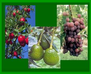 Cv unalm plantas frutales for Plantas frutales